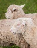 Πρόβατα (Ovis aries) που τρέχουν κοντά Στοκ εικόνες με δικαίωμα ελεύθερης χρήσης