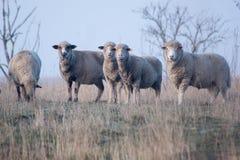 Πρόβατα Ovis aries aries Στοκ Εικόνα