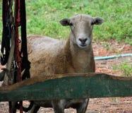 Πρόβατα (Ovis aries) Στοκ Φωτογραφία