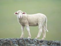 Πρόβατα (Ovis aries) Στοκ φωτογραφίες με δικαίωμα ελεύθερης χρήσης