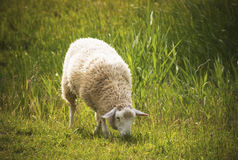 Πρόβατα (Ovis aries) Στοκ φωτογραφία με δικαίωμα ελεύθερης χρήσης