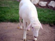 Πρόβατα Ovis aries Στοκ Φωτογραφίες