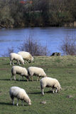 Πρόβατα Ovis aries στοκ εικόνες με δικαίωμα ελεύθερης χρήσης