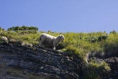 Πρόβατα - Ovis Aries Στοκ φωτογραφία με δικαίωμα ελεύθερης χρήσης