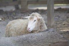 Πρόβατα & x28 Ovis aries& x29  Στοκ Φωτογραφίες