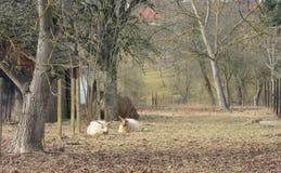 Πρόβατα Restin Στοκ εικόνες με δικαίωμα ελεύθερης χρήσης