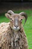 πρόβατα soay Στοκ Εικόνες