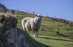 Πρόβατα Supprise, Nelson, Νέα Ζηλανδία Στοκ φωτογραφία με δικαίωμα ελεύθερης χρήσης