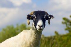 Πρόβατα Swaledale Στοκ Εικόνες
