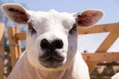 Πρόβατα Texel Στοκ Εικόνες