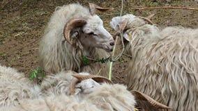 Πρόβατα Wallachian ταΐζοντας πρόβατα κοπαδιών χλόης απόθεμα βίντεο