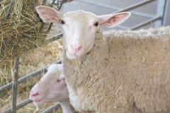 Πρόβατα Xhite στις πτυχές στάβλων στοκ φωτογραφία με δικαίωμα ελεύθερης χρήσης