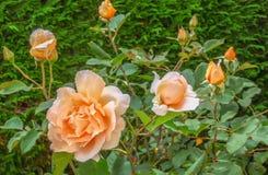 Πρόοδος τριαντάφυλλων Στοκ Εικόνες