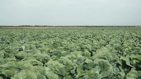 Πρόσφατα αυξανόμενος τομέας πράσινων λάχανων απόθεμα βίντεο