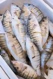 Πρόσφατα γαντζωμένος θαλάσσιος ορθοστάτης ψαριών στοκ φωτογραφία με δικαίωμα ελεύθερης χρήσης