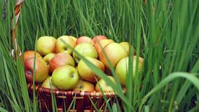 Πρόσφατα επιλεγμένα οργανικά μήλα στο μεγάλο ψάθινο καλάθι στη χλόη στον κήπο r απόθεμα βίντεο