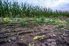 Πρόσφατα καλλιεργημένος οργανικός τομέας καλαμποκιού για τη βιομάζα στο νεφελώδες θερινό βράδυ με τα χρώματα ηλιοβασιλέματος στοκ εικόνα