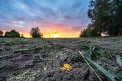 Πρόσφατα καλλιεργημένος οργανικός τομέας καλαμποκιού για το θερινό βράδυ βιομαζών με τα χρώματα ηλιοβασιλέματος, δραματικός ουραν στοκ εικόνες