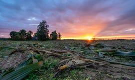 Πρόσφατα καλλιεργημένος οργανικός τομέας καλαμποκιού για το θερινό βράδυ βιομαζών με τα χρώματα ηλιοβασιλέματος, δραματικός ουραν στοκ φωτογραφίες