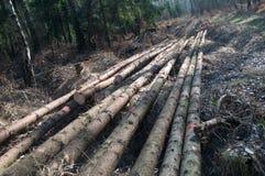 Πρόσφατα κόψτε τα κούτσουρα δέντρων Στοκ εικόνες με δικαίωμα ελεύθερης χρήσης