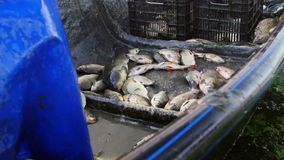 Πρόσφατα πιασμένα ψάρια στο δέλτα Δούναβη απόθεμα βίντεο