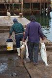 Πρόσφατα πιασμένα ψάρια Corvina Στοκ Φωτογραφία