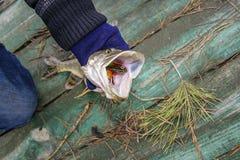 Πρόσφατα πιασμένοι μικροί λούτσοι Στοκ Φωτογραφία
