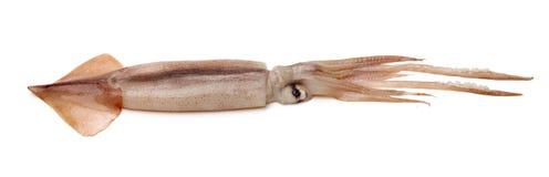 Πρόσφατα πιασμένο καλαμάρι που είναι shinny στοκ φωτογραφία με δικαίωμα ελεύθερης χρήσης