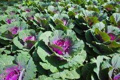 Πρόσφατα πράσινο λάχανο Στοκ φωτογραφία με δικαίωμα ελεύθερης χρήσης