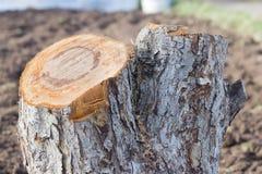 πρόσφατα πριονισμένο κολόβωμα ενός παλαιού δέντρου της Apple στον κήπο Στοκ Φωτογραφία