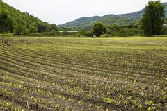 Πρόσφατα φυτευμένες σειρές καλαμποκιού Στοκ Φωτογραφία