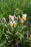 Πρόσφατη τουλίπα Dasystemon Tarda Tulipa, τουλίπα tarda στοκ εικόνες