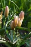 Πρόσφατη τουλίπα Dasystemon Tarda Tulipa, τουλίπα tarda στοκ φωτογραφίες με δικαίωμα ελεύθερης χρήσης