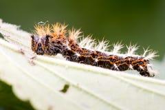 Πρόσφατη instar κάμπια κομμάτων (γ-λεύκωμα Polygonia) Στοκ φωτογραφία με δικαίωμα ελεύθερης χρήσης