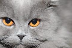 Πρόσωπο γάτας Στοκ Εικόνες