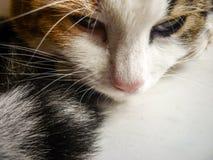 Πρόσωπο γατών με στενό επάνω mustache Στοκ Εικόνα