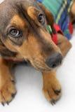 Πρόσωπο ενός καφετιού μακριού σκυλιού ρυγχών Στοκ Φωτογραφία