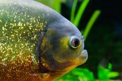 Πρόσωπο ενός κόκκινου διογκωμένου piranha στενό σε επάνω, ένα όμορφο και ζωηρόχρωμο τροπικό ψάρι από τη Νότια Αμερική στοκ φωτογραφία