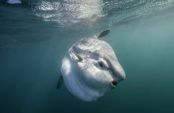 Πρόσωπο ενός Mola Στοκ Φωτογραφία