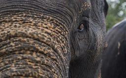 Πρόσωπο ελεφάντων Στοκ Εικόνες