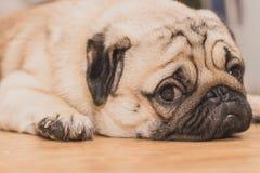 Πρόσωπο κινηματογραφήσεων σε πρώτο πλάνο του χαριτωμένου ύπνου σκυλιών κουταβιών μαλαγμένου πηλού στοκ φωτογραφίες