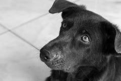 Πρόσωπο κινηματογραφήσεων σε πρώτο πλάνο του σκυλιού που ψάχνει κάτι, γραπτό χρώμα Στοκ Εικόνες