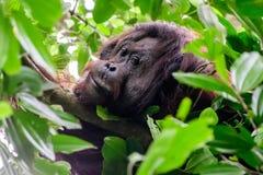 Πρόσωπο μεγάλος αρσενικός Orangutan στο τροπικό δάσος Στοκ Φωτογραφία
