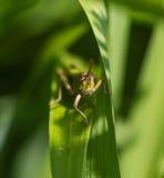Πρόσωπο με πρόσωπο με grasshopper Στοκ εικόνες με δικαίωμα ελεύθερης χρήσης