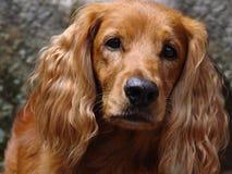 πρόσωπο σκυλιών Στοκ Εικόνα