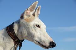 Πρόσωπο σκυλιών Podenco Στοκ Φωτογραφία