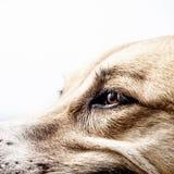 Πρόσωπο 13 σκυλιών κινηματογράφηση σε πρώτο πλάνο Στοκ Εικόνες