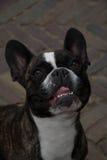 Πρόσωπο σκυλιών Στοκ Φωτογραφία