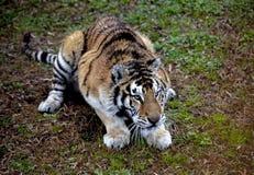 Πρόσωπο της κινηματογράφησης σε πρώτο πλάνο τιγρών Amur Τίγρη amur σιβηρική τίγρη Στοκ εικόνα με δικαίωμα ελεύθερης χρήσης