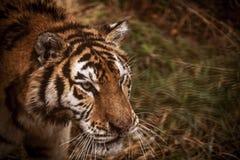 Πρόσωπο της κινηματογράφησης σε πρώτο πλάνο τιγρών Amur Τίγρη amur σιβηρική τίγρη Στοκ Εικόνες